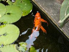 דג זהב בבריכה
