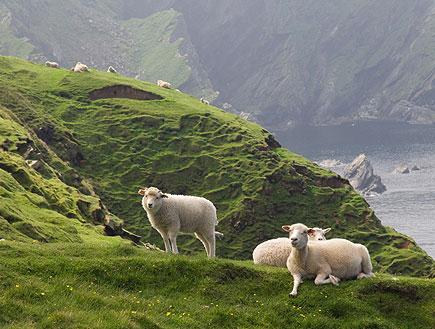 צוקי מוהר באירלנד עם כבשים (צילום: istockphoto)