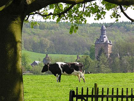 פרה במרעה בהולנד (צילום: SXC)