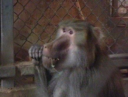 הקופים שהועברו מישראל לאפריקה