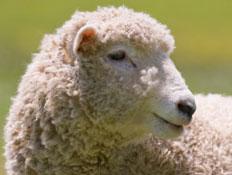 כבשה אמיתית