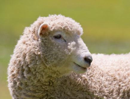 כבשה אמיתית (צילום: istockphoto)