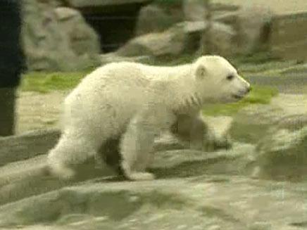 סיפורי דובים - הדב קנוט - קליק לעולם (צילום: חדשות 2)