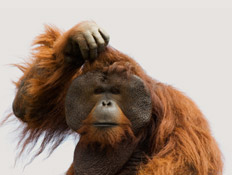 קוף מבולבל (צילום: Panhandlin, Istock)