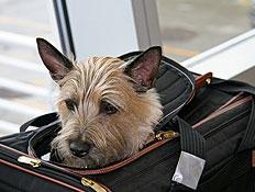 כלב במזוודה (צילום: urbanglimpses, Istock)