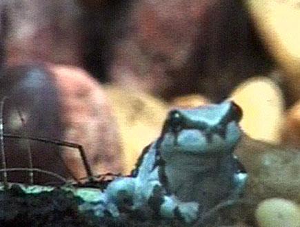 הצפרדעים בסכנת הכחדה (תמונת AVI: חדשות)