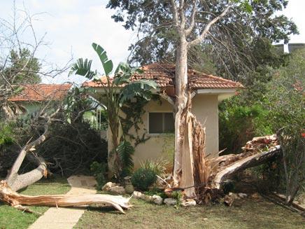 עץ שקרס כתוצאה ממזג האוויר (גלעד אוחיון) (צילום: גולש חדשות 2 באינטרנט גלעד אוחיון)
