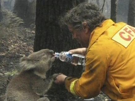 מחלצים מטפלים בקואלה בשל השריפות באוסטרליה (צילום: חדשות 2)