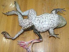 צפרדע עם שבע רגליים