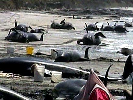 לוויתנים בחוף הים  (חדשות 2) (צילום: חדשות 2)