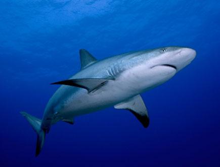 כריש (צילום: cdascher, Istock)