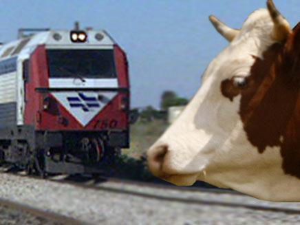 פרה מול רכבת ישראל (חדשות 2 ורויטרס) (צילום: חדשות 2 ורויטרס)