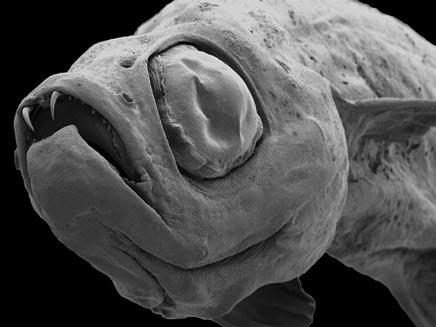 דג פרה היסטורי בשם דרקולה פיש (צילום: BBC)