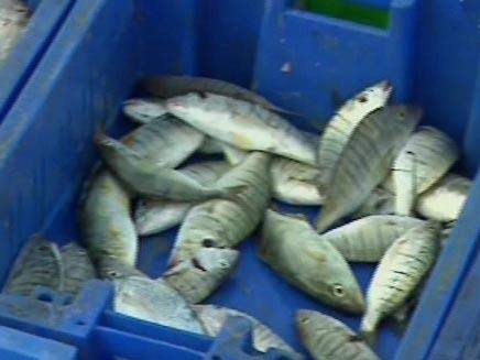 האם הדגים בריאים - תכנית חיסכון (צילום: חדשות 2)