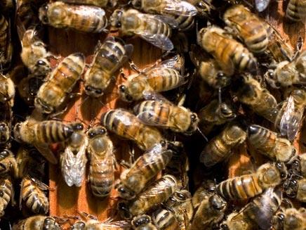 מושבת דבורים (רויטרס) (צילום: רויטרס)