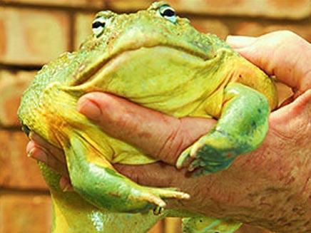 צפרדע שהושתל ברזל ברגלה (SUN) (צילום: SUN)