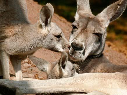 קנגורו באוסטרליה (צילום: רויטרס)
