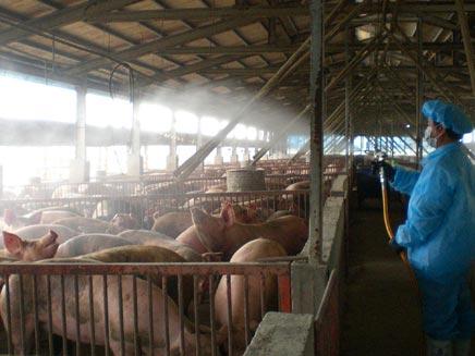 שפעת החזירים - פועל שוטף את החזירים בדיר (צילום: רויטרס)