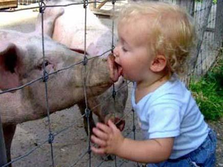 ילד מלקק חזיר - שפעת החזירים - בדיחה (צילום: חדשות 2)
