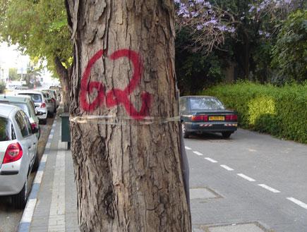 אחד העצים המיועדים לעקירה (צילום: אורית קלפיש)