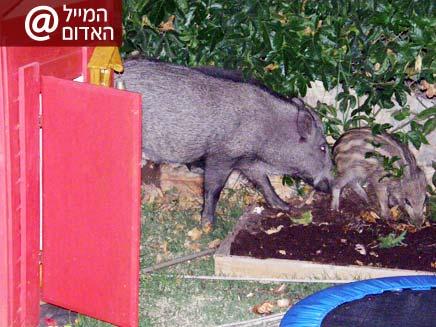 חזירים בבית מגורים (צילום: אלון גולדברג - המייל האדום)