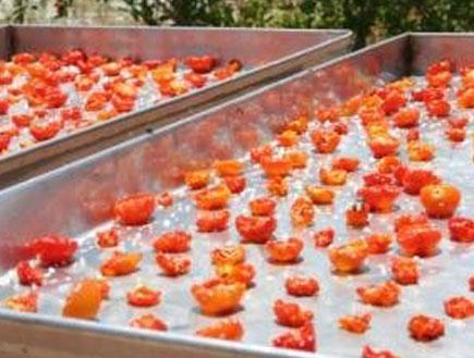 עגבניות בחוות צוק (צילום:  יחסי ציבור )