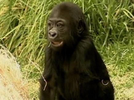 גורילה נולדה בגן החיות בלוס אנג'לס (צילום: חדשות 2)