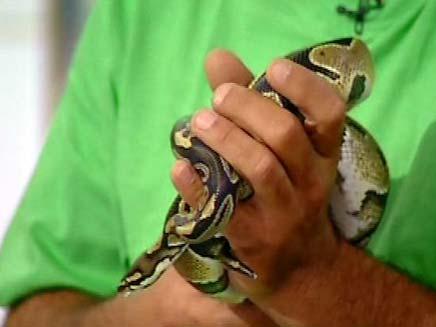 נחש בידיו של לוכד הנחשים (צילום: חדשות 2)