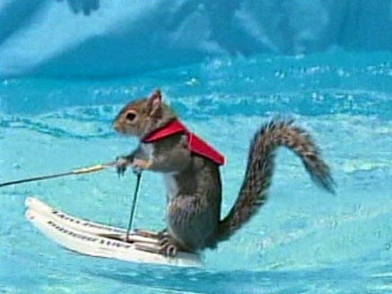 טוויגי - סנאי שגולש על מים (צילום: חדשות 2)