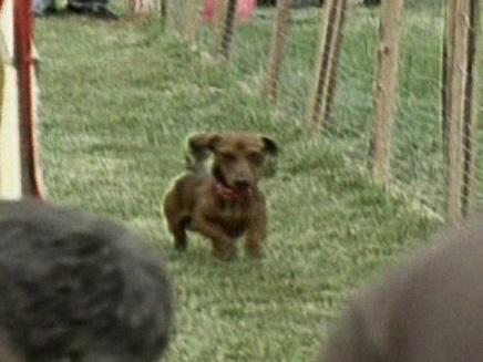 כלב תחש בתחרות כלבים (צילום: חדשות 2)