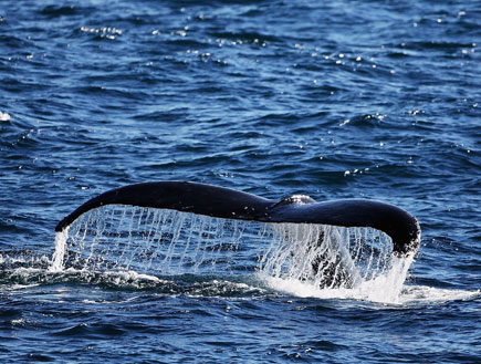זנב של לוויתן (צילום: Ian Waldie, GettyImages IL)