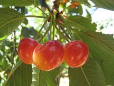 דובדבנים צהובים-אדומים על העץ (צילום: דן-יה שוורץ)