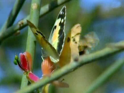 פרפרים בעין גדי (צילום: חדשות 2)