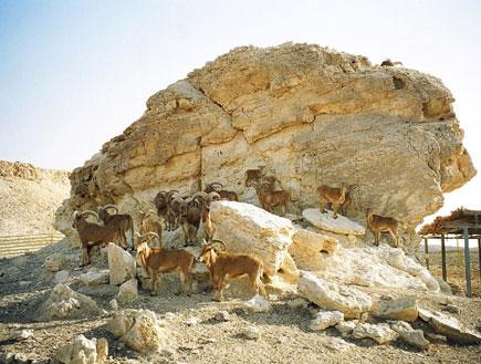 אטרקציות בדרום: אנטילופות ליד סלע בחוות האנטילופות (צילום: אור גץ)