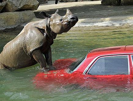 קרנף עוגב על מכונית