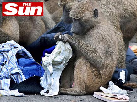קוף משתולל (צילום: הסאן - The Sun)