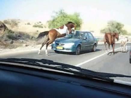 סוס שנכנס במכונית בצפון הארץ (צילום: חדשות 2)