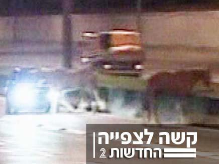 תאונת פגע בסוס (צילום: הטלוויזיה הברזילאית)