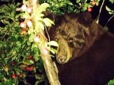 דובים באספן (צילום: חדשות 2)