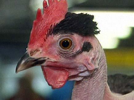 תערוכת התרנגולים באוסטרליה (צילום: חדשות 2)