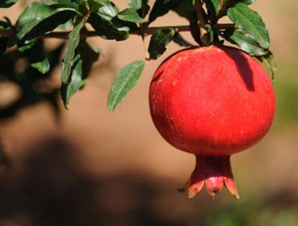 רימון על העץ (צילום: Amit Erez, Istock)