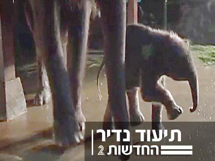 לידת פיל (צילום: חדשות 2)