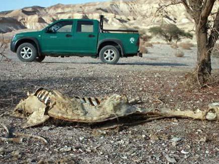הגמל המת (צילום: תומר בסקינד)