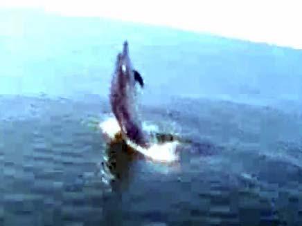 דולפינים משחקים כדורגל (צילום: חדשות 2)