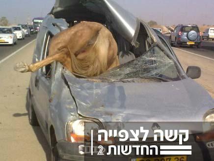 תאונה סוס נכנס ברכב (צילום: ישראל אוזן)