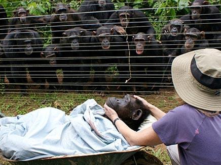 טקס אשכבה לשימפנזה (צילום: Sky News)