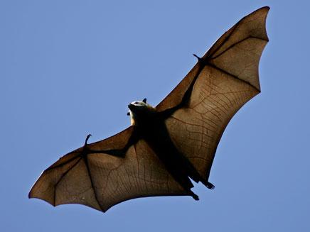במשלוח: גם עטלפי פירות. ארכיון (צילום: AP)