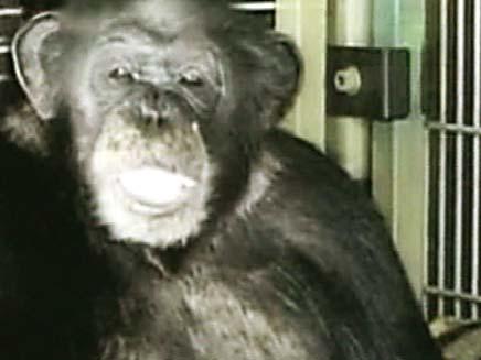 שימפנזה (צילום: סקיי ניוז)