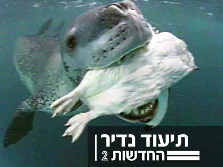 תיעוד נדיר, אריה ים במצוד (צילום: חדשות 2)