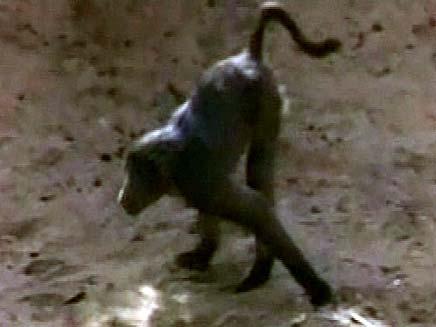 קוף סטול (צילום: חדשות 2)